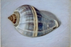 PSL17 'Blue whelk' pastel 13 x 18 cm 1995 (Private collection)