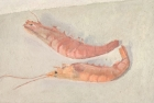 OSL045 'Crevettes' oil on canvas 21 x 32 cm 1985