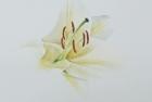 3 'Lily' watercolour 30 x 30 cm 2014