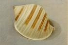 20 'Scotch Bonnet shell' pastel 18 x 20 cm 1994 (Private collection)