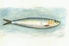 5 'Sardine' watercolour 25 x 35 cm 1995